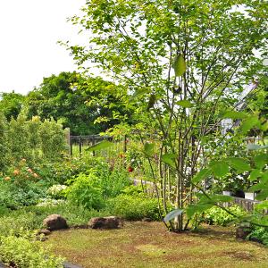 庭のシンボルとしてジューンベリーを