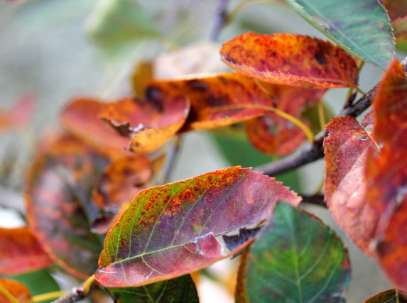 紅葉の色付くジューンベリー