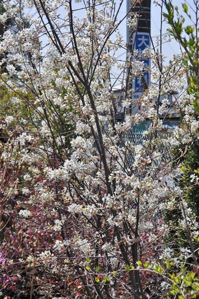 木全体に白花を付けるジューンベリー
