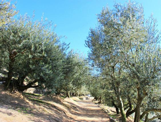 様々な品種のオリーブが育つ小豆島