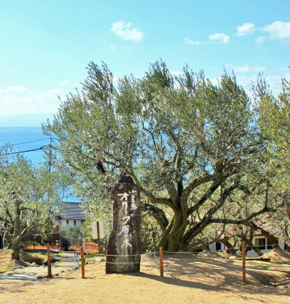 オリーブの原木:香川県小豆島
