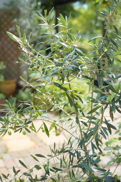 庭木としてのオリーブ