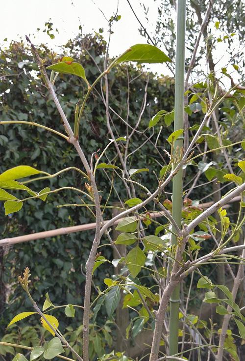 寒さで葉を落としたシマトネリコ