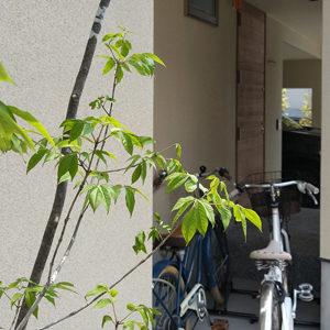アオダモの魅力を徹底解説-白花や紅葉が美しいナチュラルな雑木を庭で楽しもう