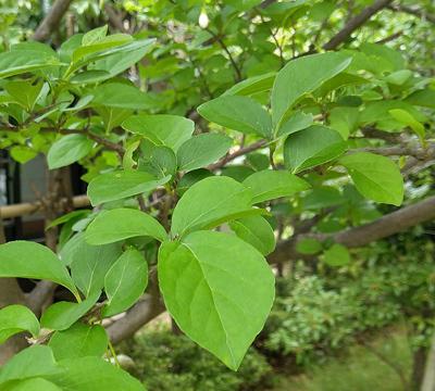 エゴノキの新緑