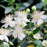 ギンバイカ(マートル)とは?-白い小花やハーブらしい芳香、シンボルツリーや目隠しとしての活かし方も解説します