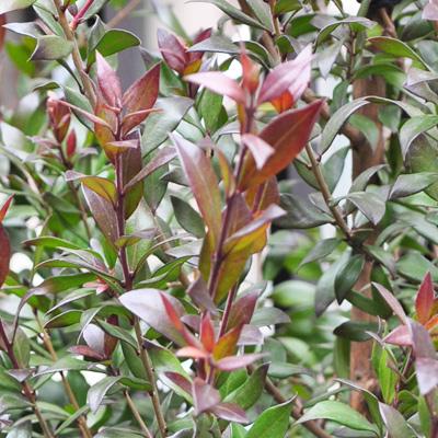 ギンバイカの葉