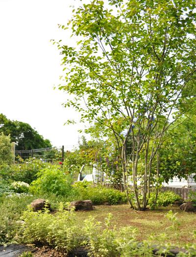 南庭のシンボルとして佇むジューンベリー