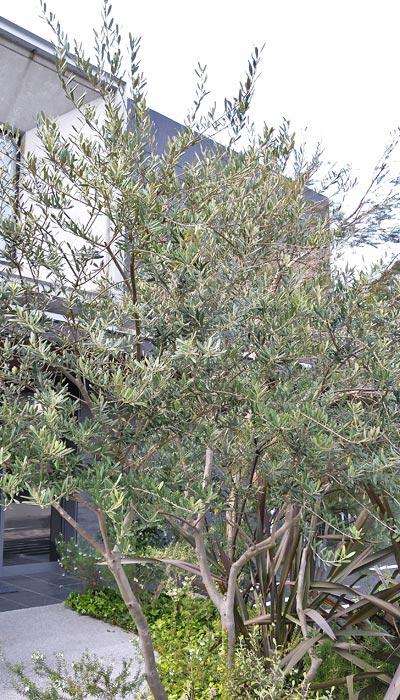 陽樹の代表格:オリーブ
