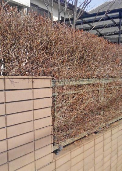 落葉したドウダンツツジの生垣
