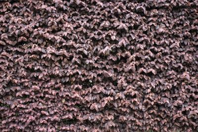 上品な紅色を見せるトキワマンサクの葉