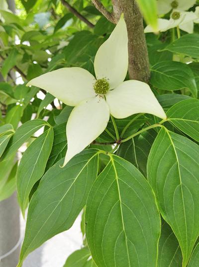 ヤマボウシ「ミルキーウェイ」の花