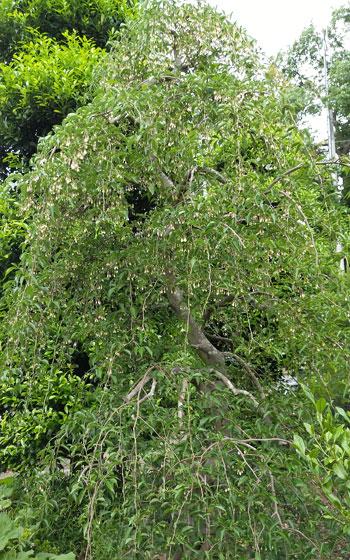 シダレエゴノキの樹形