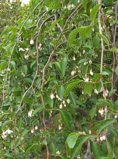 シダレエゴノキの花
