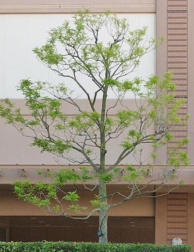 単幹樹形のシマトネリコ