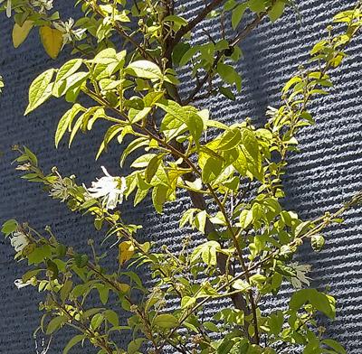 白花トキワマンサクの葉