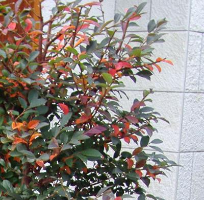 紅花トキワマンサクが見せる紅葉
