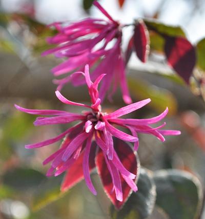 トキワマンサクの紅花