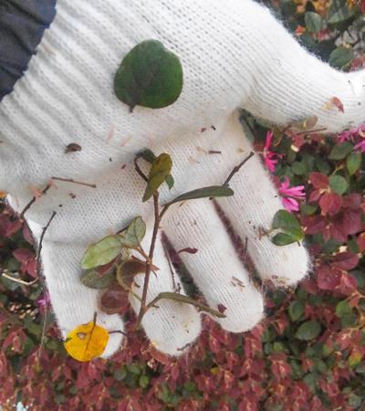 布地に付着しやすいトキワマンサクの葉