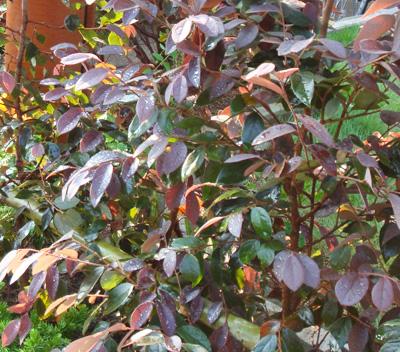 トキワマンサク(紅花)の葉