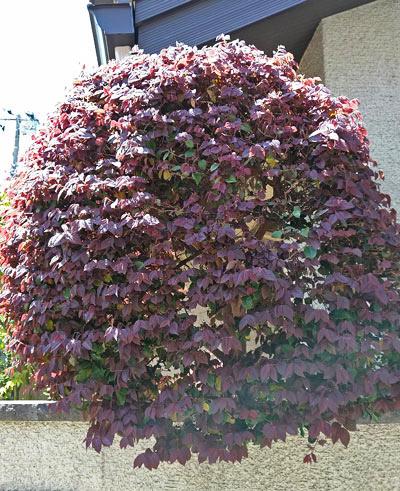 シンボルツリーとして成型されたトキワマンサク
