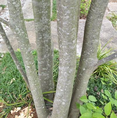 ヤマボウシの幹