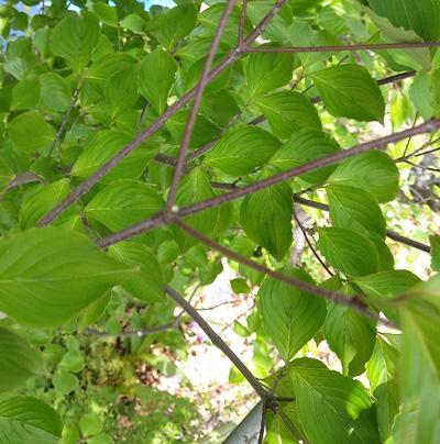 ヤマボウシの枝の分岐点