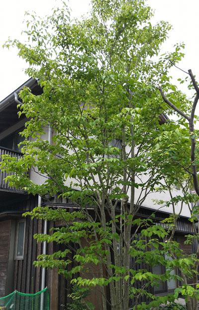 和風シンボルツリーとしたヤマボウシ