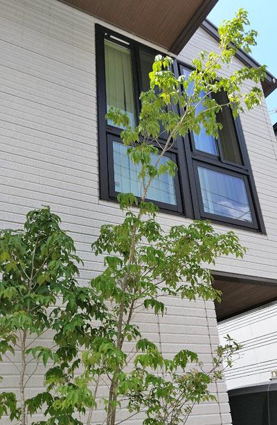 2階から眺められるアオダモ