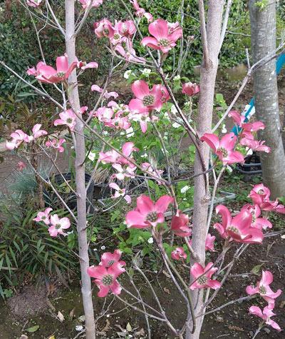 開花から変化を見せる色合い