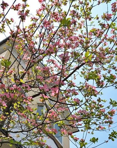 代表的な花木:ハナミズキ