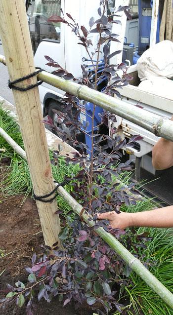 生垣用として生産された植木