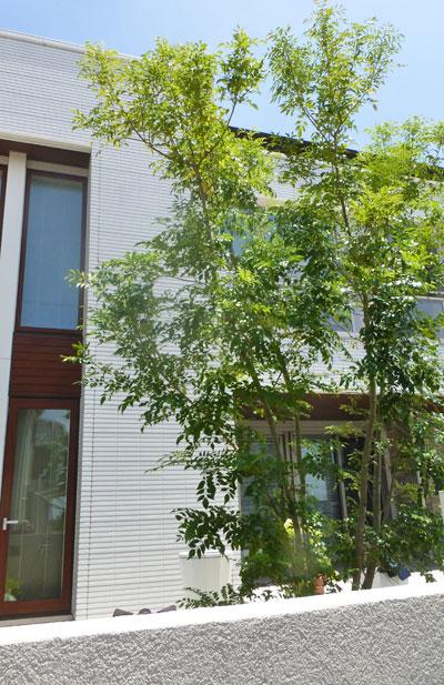 庭中央で佇むシマトネリコ:野田市K様邸