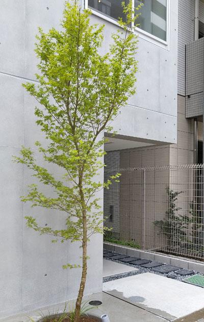 下枝の少ない単幹モミジ:北区マンション