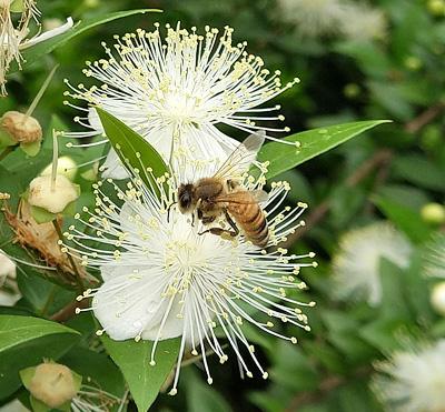 ミツバチを呼ぶギンバイカの花