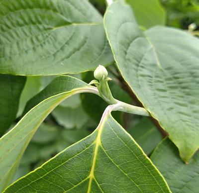ハナミズキの花芽
