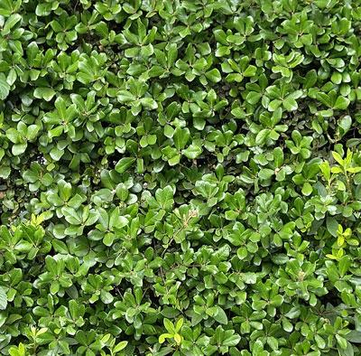 活きている緑が壁となる生垣