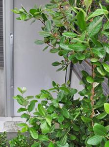 青々とした常緑樹:写真はフェイジョア