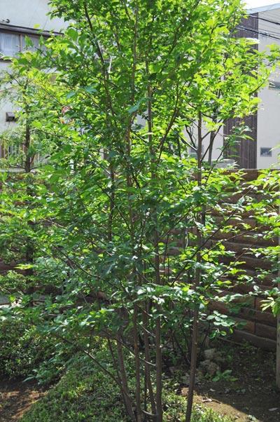 均整株立ち樹形が多いエゴノキ