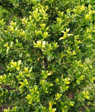 高密度の枝葉を持つキンメツゲ