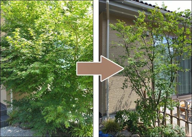 モミジの不要枝を外して樹形を作る