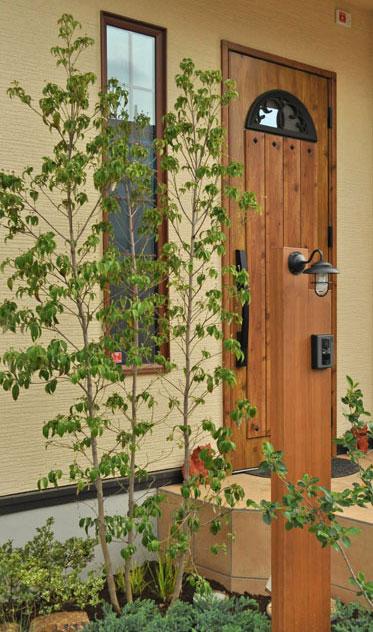 3本幹による樹形の常緑ヤマボウシ