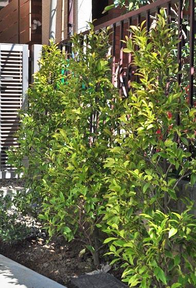 コンパクトで飾り気のないオガタマ:板橋区K様邸
