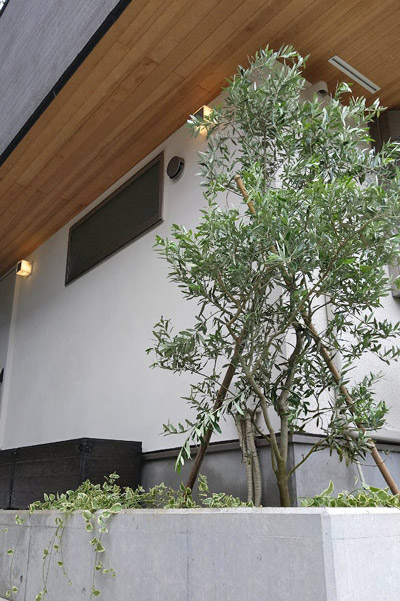 シンボルツリーとしてオリーブを成長させる