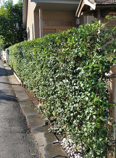 カンツバキの生垣:市川市M様邸