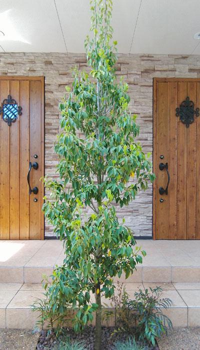 単幹(一本幹)樹形のソヨゴ
