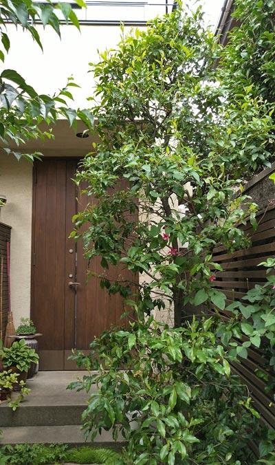 自然を感じる単幹樹形:オガタマ