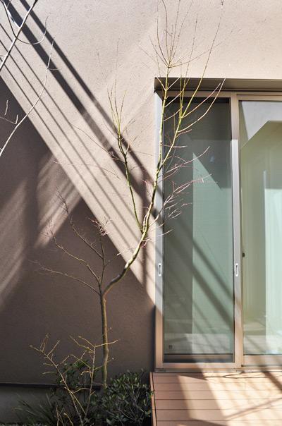 単幹樹形の落葉樹:イロハモミジ