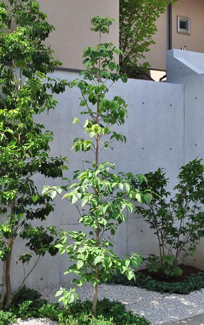 単幹樹形が主流のハナミズキ