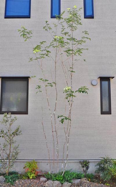 繊細な幹模様を持つアオダモ